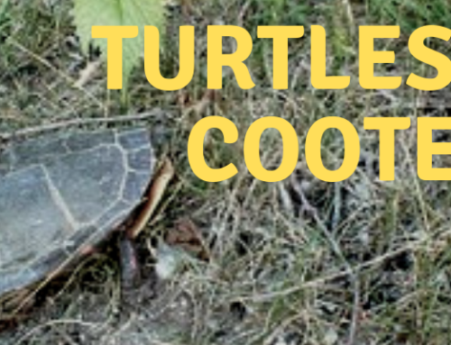 Turtles Of Cootes